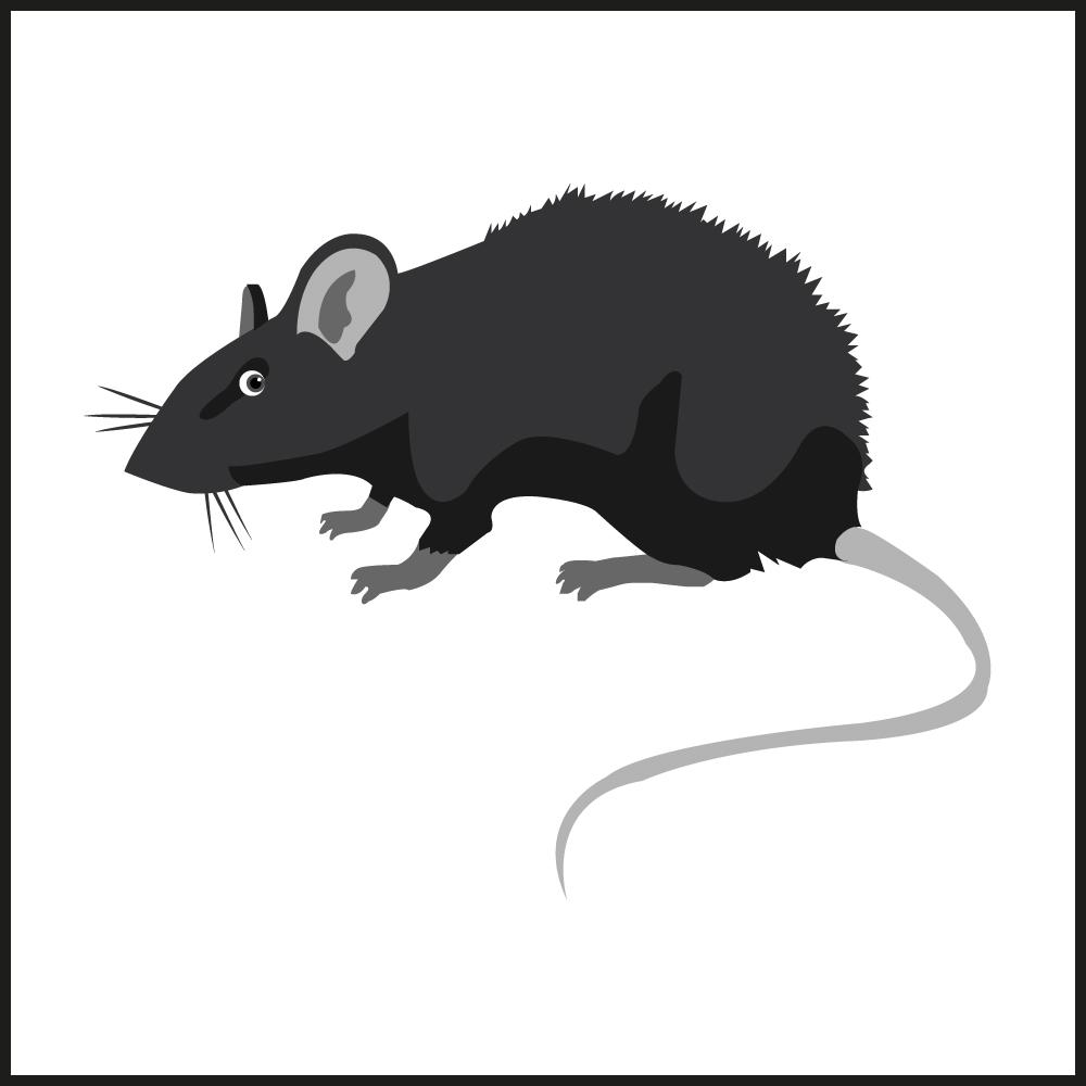 Ratten bekämpfen - Fachgerechte Umsiedlung und Entfernung von Ratten